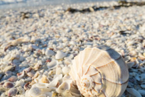 Seashells on the Beach of Sanibel Island in Florida